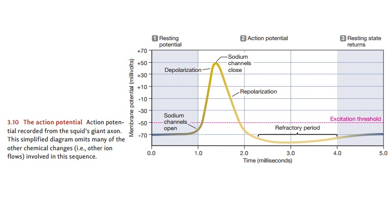 Explaining the Action Potential