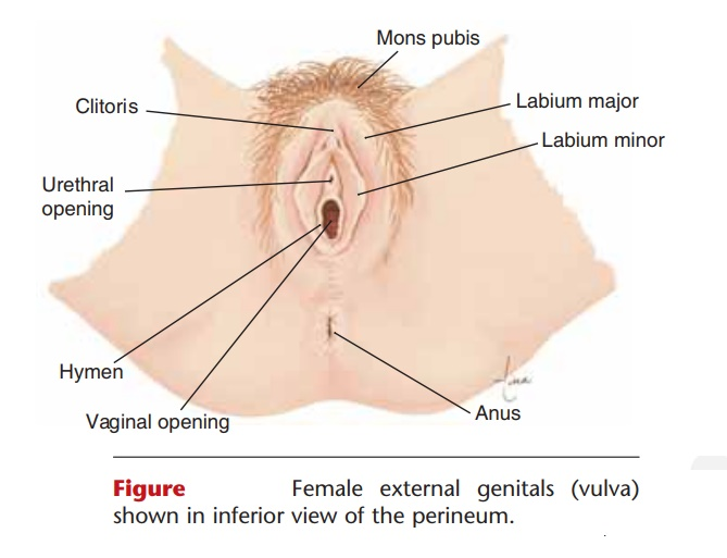 External Genitals Anatomy And Physiology