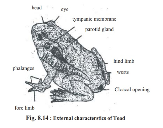 External morphology of Toad