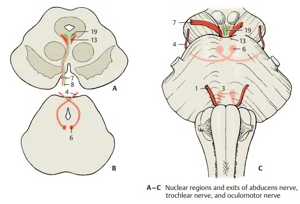 Eye-Muscle Nerves (Cranial Nerves III, IV, and VI)