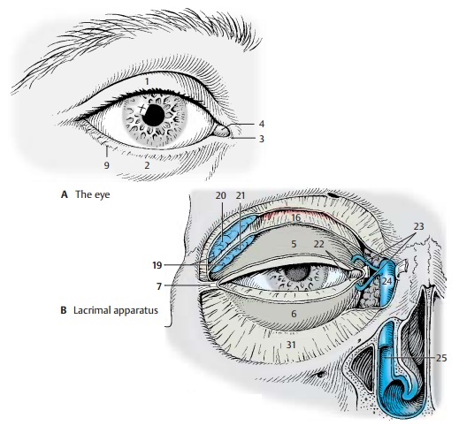 Eyelids - Structure of the Eye