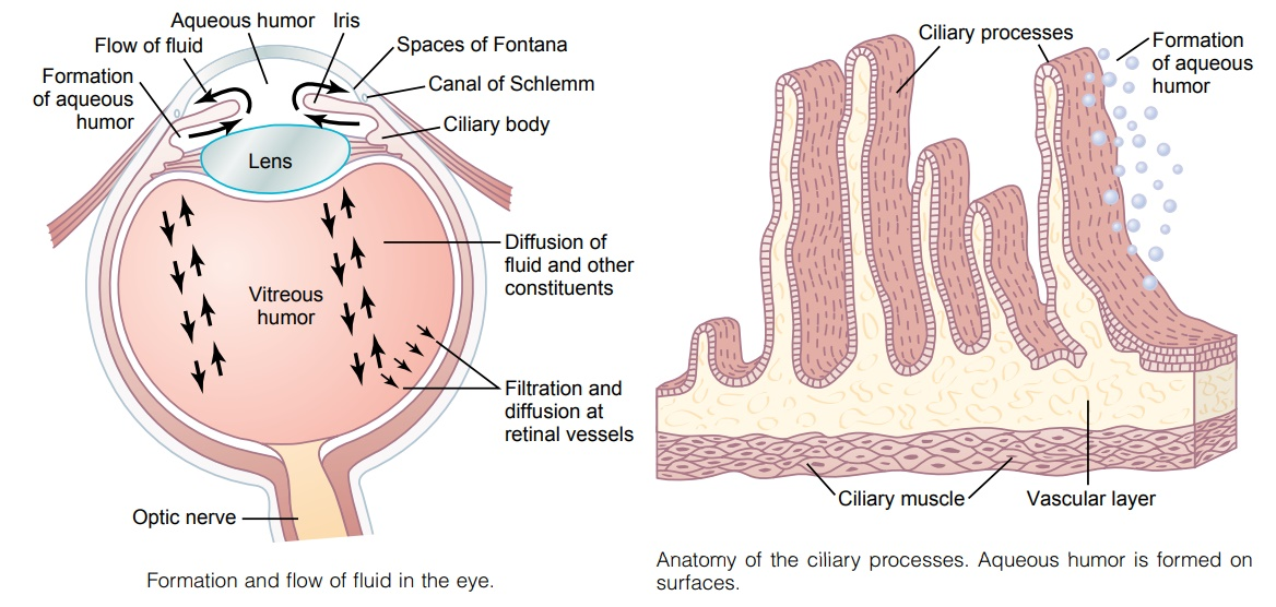 Fluid System of the Eye- Intraocular Fluid