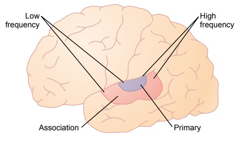 Function of the Cerebral Cortex in Hearing