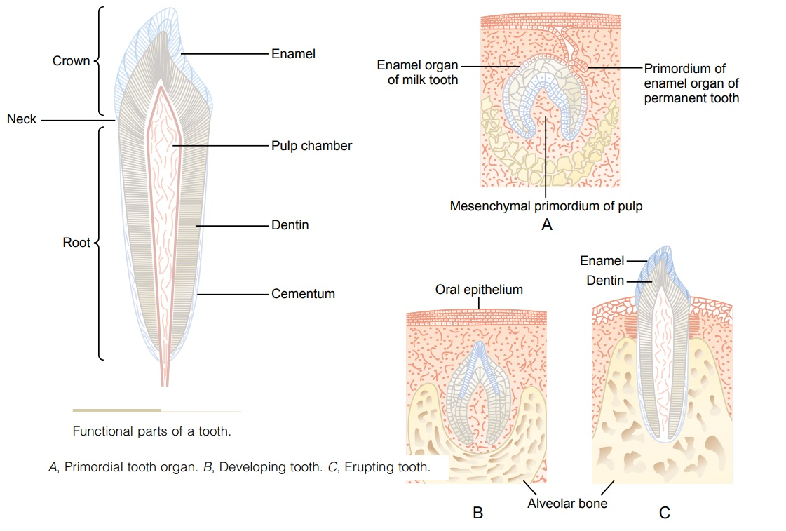 Function of the Different Parts of the Teeth
