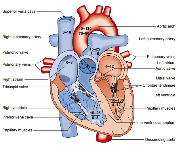 Function of the Heart: Conduction System