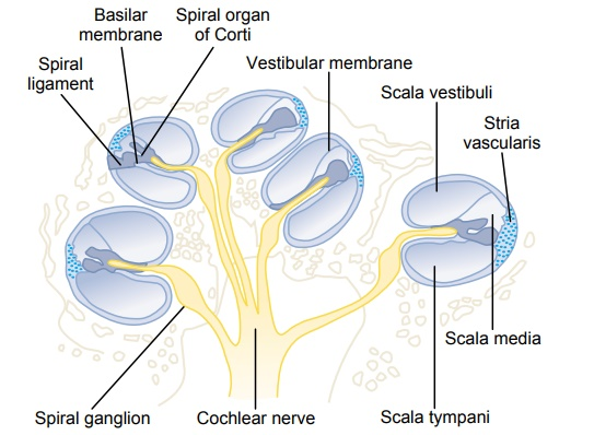 Functional Anatomy of the Cochlea