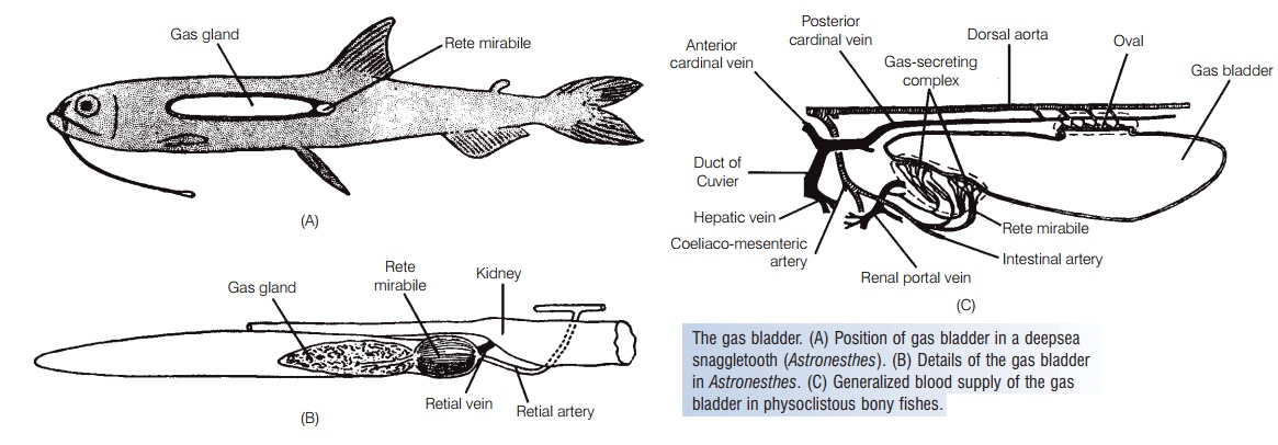 Gas bladder of Fishes