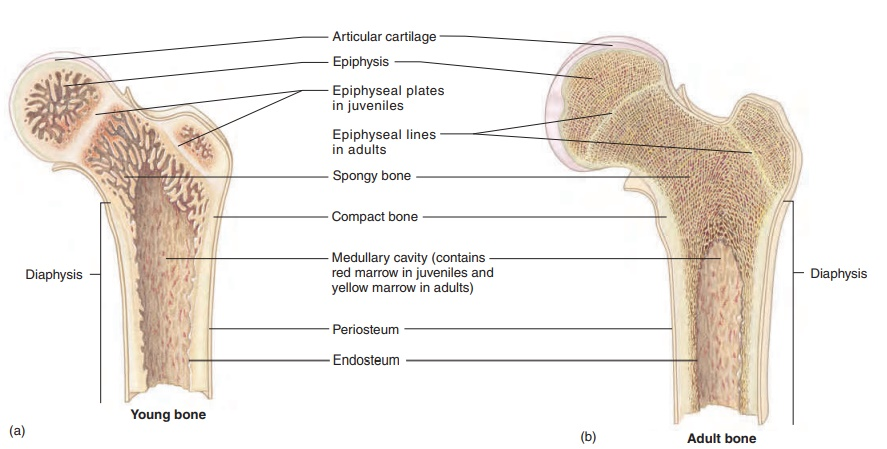 General Features of Bone