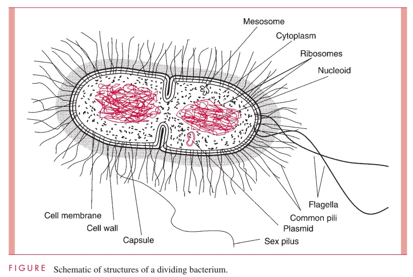 General Morphology, Body Plan, and Composition - Bacterial Structures