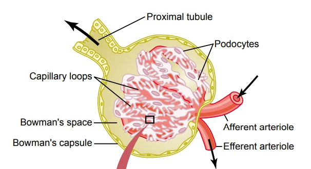 Glomerular Filtration-The First Step in Urine Formation