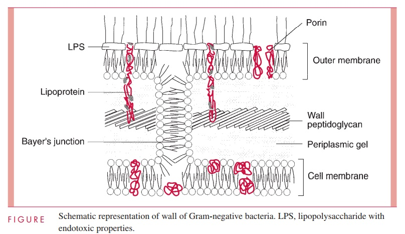 Gram Negative Cell Wall - Bacterial Structures