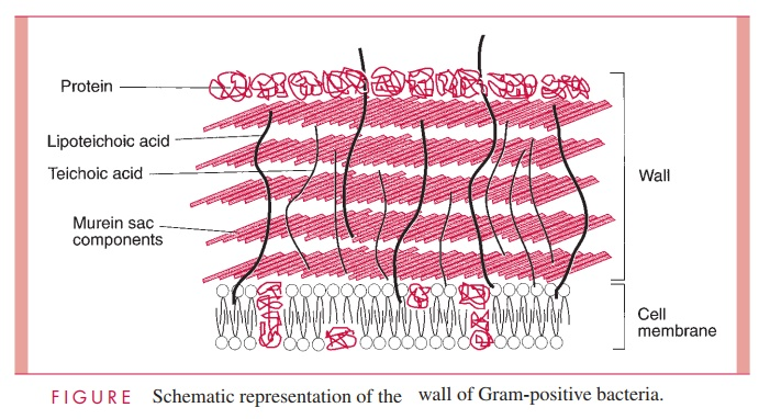 Gram Positive Cell Wall - Bacterial Structures