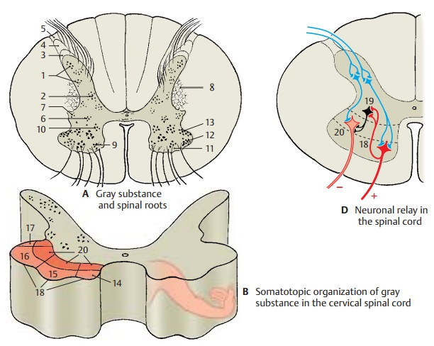 Gray Substance and Intrinsic System - Spinal Cord