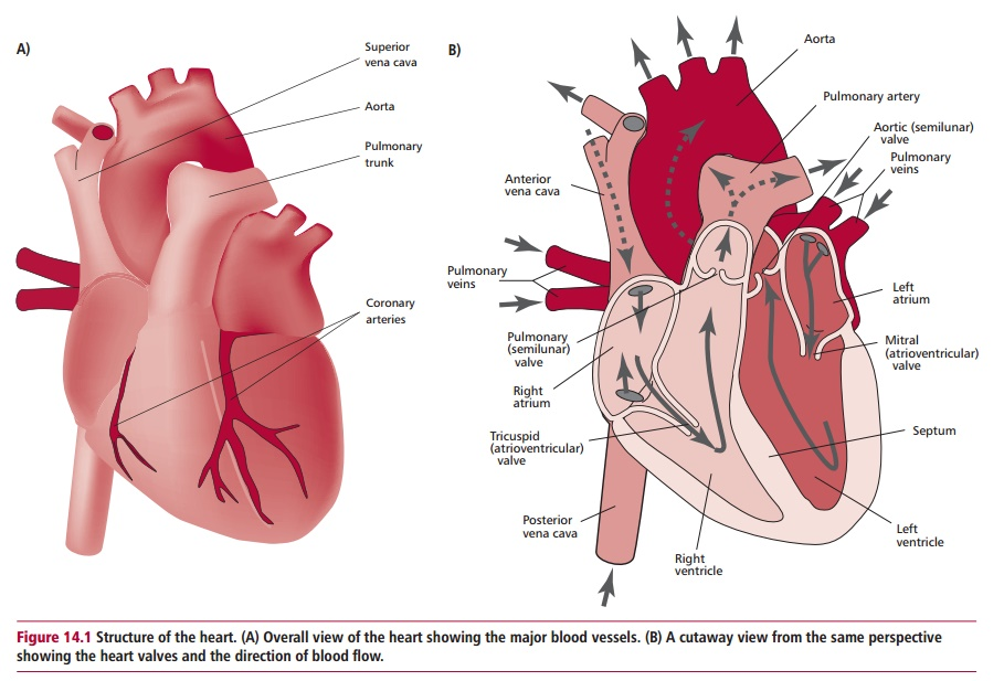 Heart and Circulatory Systems