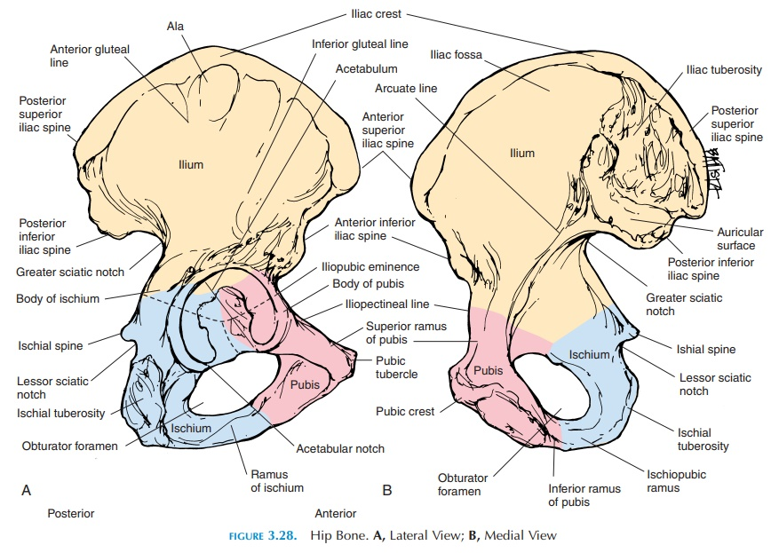 Ilium Pelvic Girdle Study Material Lecturing Notes Assignment