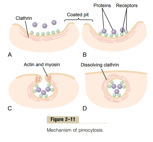 Ingestion by the Cell - Endocytosis - Functional Systems of the Cell