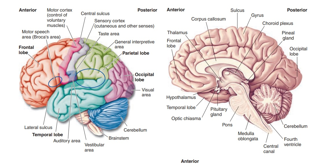 Integrative Centers - Brain and Brain Divisions
