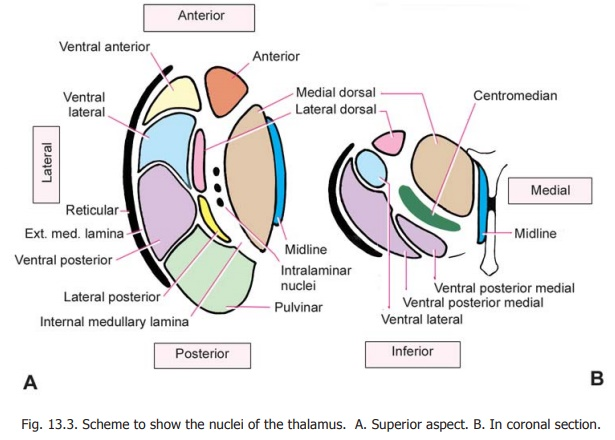 Internal Structure of the Thalamus