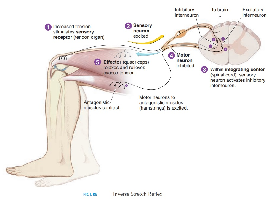 Inverse Stretch Reflex - Nervous System