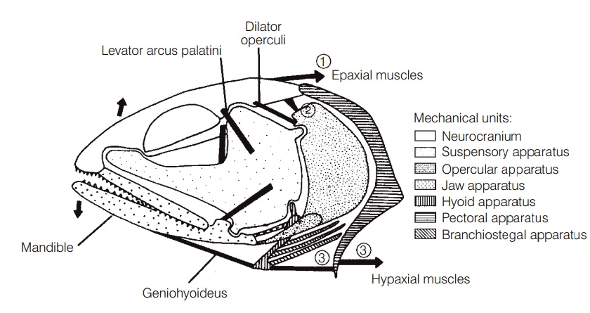 Jaw protrusion: the great leap forward - Fishes