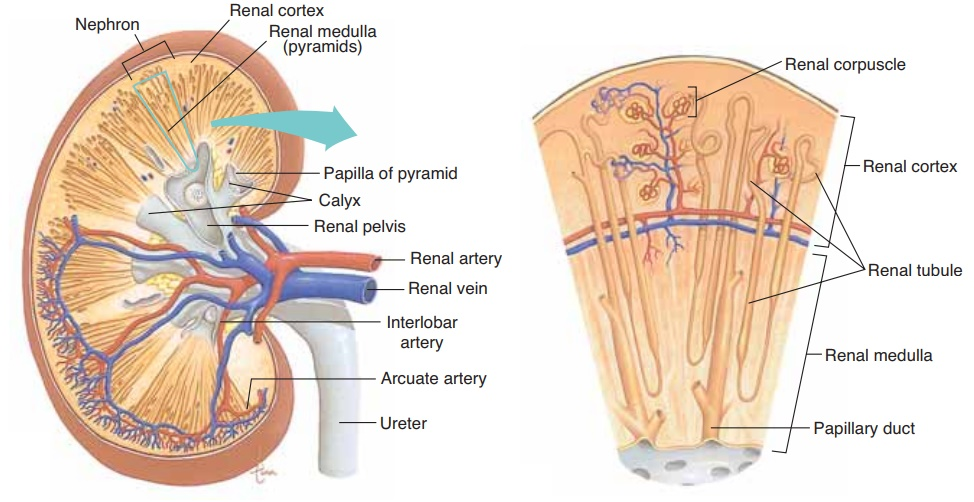 Kidneys - Anatomy and Physiology