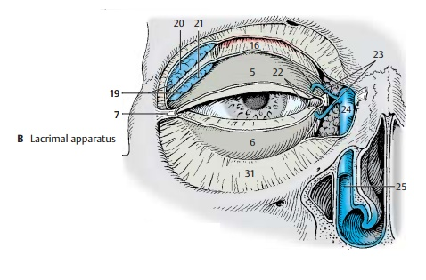 Lacrimal Apparatus - Structure of the Eye