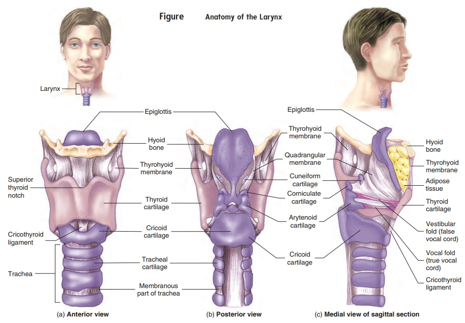 Larynx - Anatomy of the Respiratory System