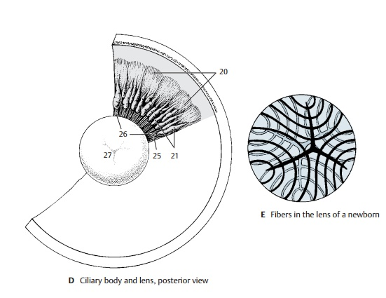 Lens of the Eye - Structure of the Eye