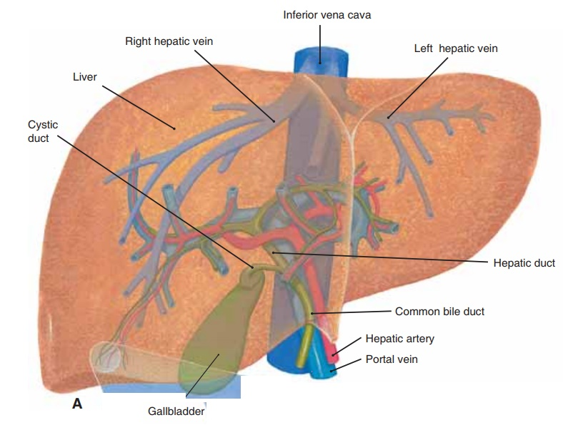 Liver - Anatomy and Physiology