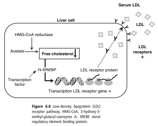 Low-density lipoprotein receptor pathway