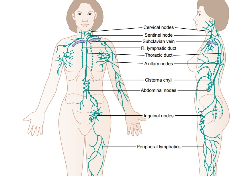 Lymph Channels of the Body
