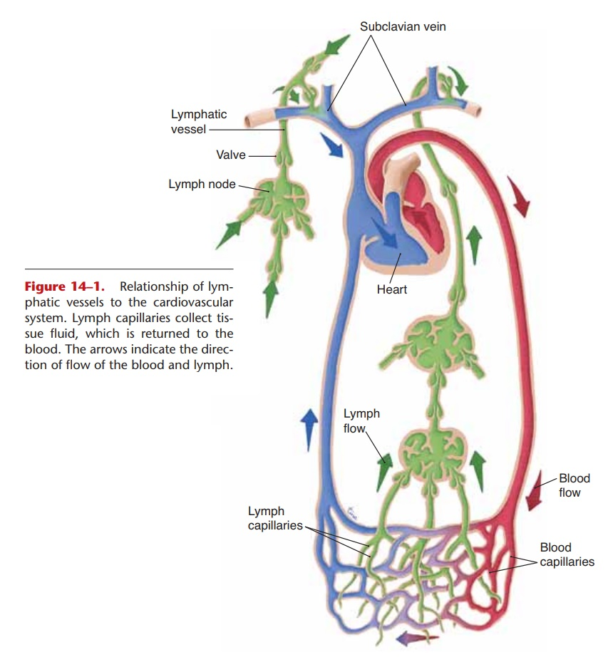 Lymph - Anatomy and Physiology