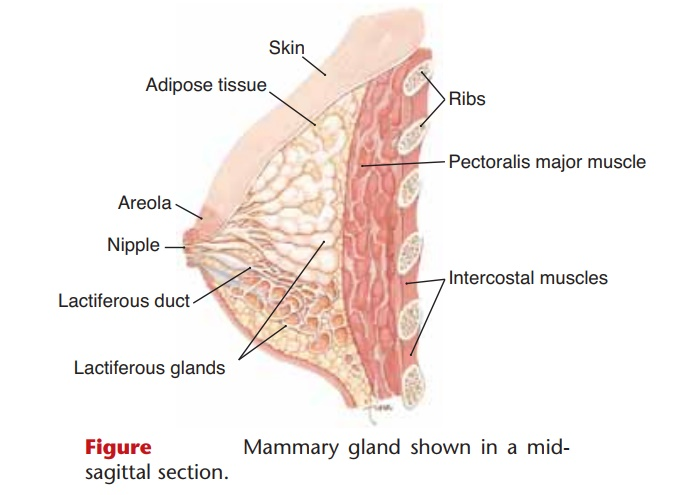 Mammary Glands - Anatomy and Physiology