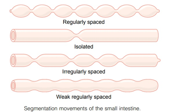 Mixing Contractions (Segmentation Contractions) - Movements of the Small Intestine