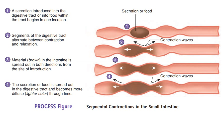 Movement and Absorption in the Small Intestine