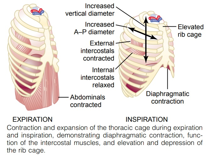 Muscles That Cause Lung Expansion and Contraction