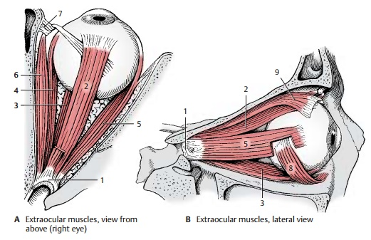 Muscles of the Eyeball - Structure of the Eye