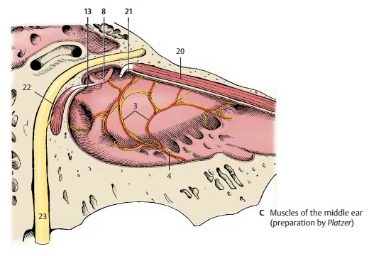 Muscles of the Tympanic Cavity