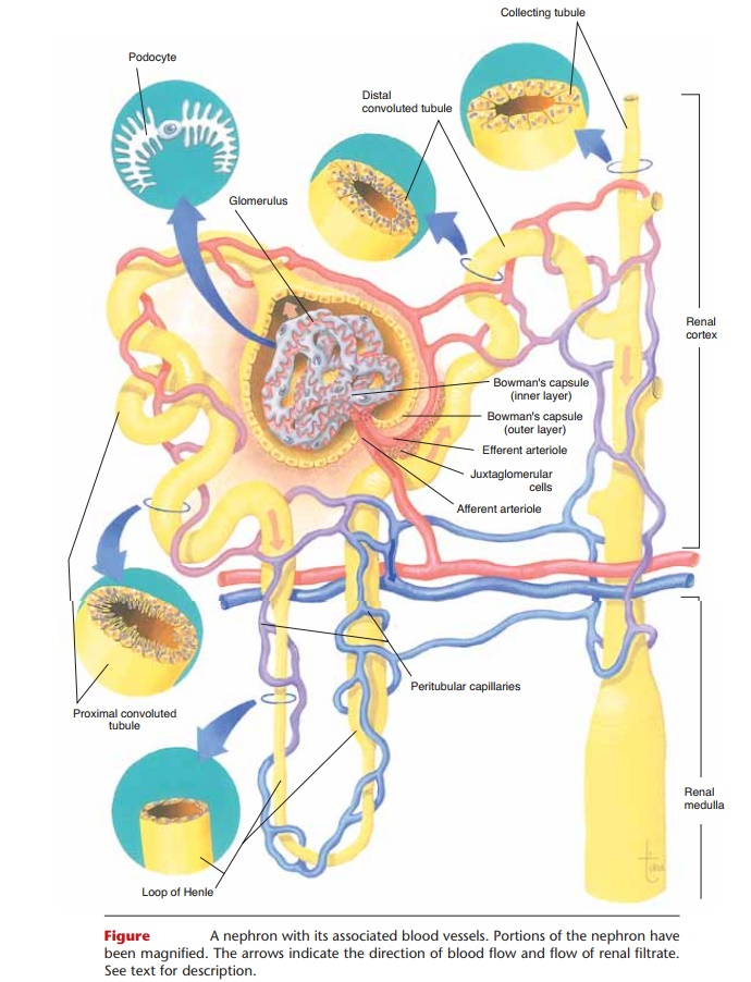 Nephron Anatomy And Physiology Study Material Lecturing Notes