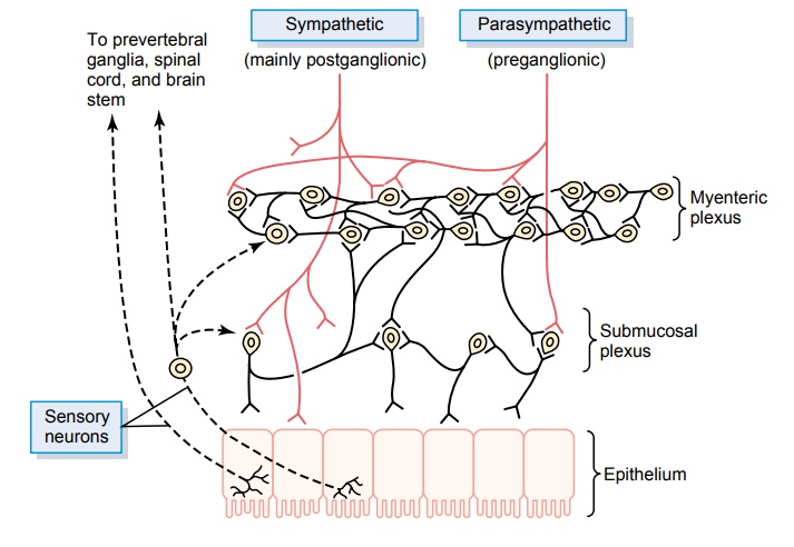 Neural Control of Gastrointestinal Function- Enteric Nervous System