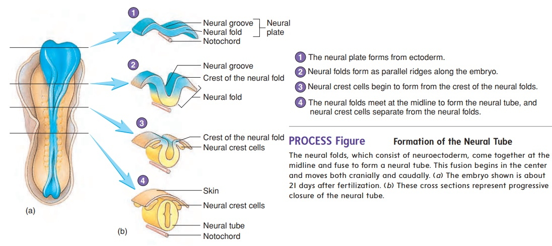 Neural tube and neural Crest Formation - Prenatal Development