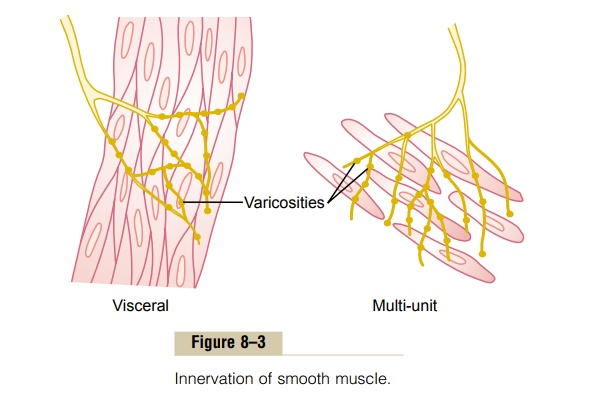 Neuromuscular Junctions of Smooth Muscle