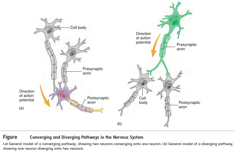 Neuronal Pathways - Electrical Signals and Neural Pathways