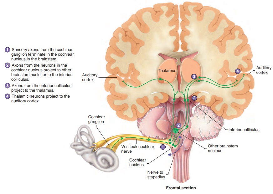 Neuronal Pathways for Hearing