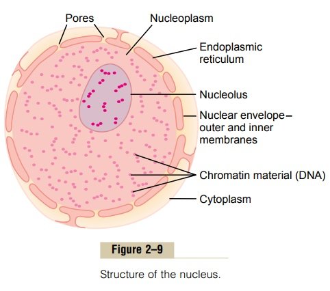 Nucleus and Nuclear Membrane - Physical Structure of the Cell