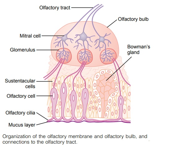 Olfactory Membrane - Sense of Smell