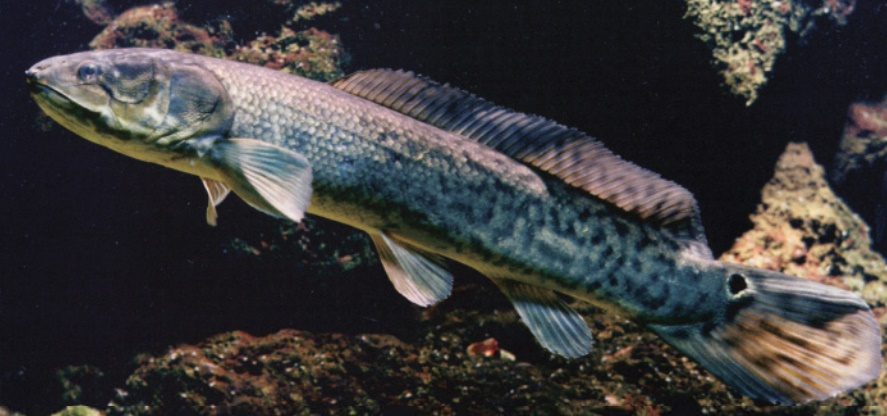 Order Amiiformes: the Bowfin