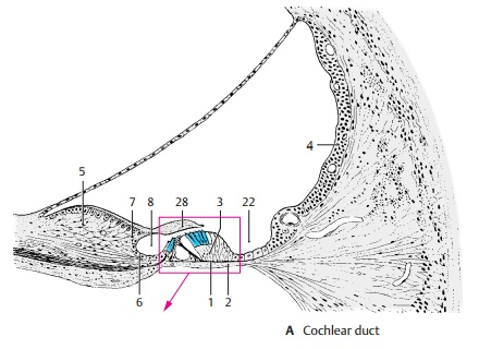 Organ of Corti - Structure of The Ear