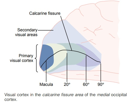Organization and Function of the Visual Cortex