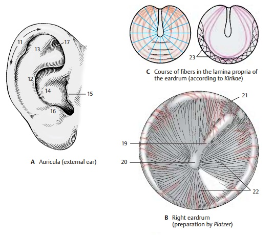 Outer Ear - Structure of The Ear